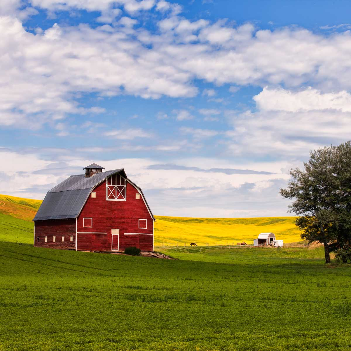Red barn and canola field in Palouse, WA